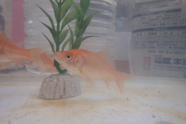 黒い 金魚 ヒレ